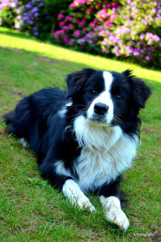 Aethelstan Bordercollies